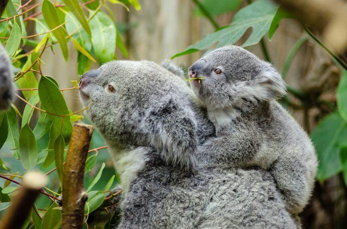 Olejek eukaliptusowy – czy warto go stosować?